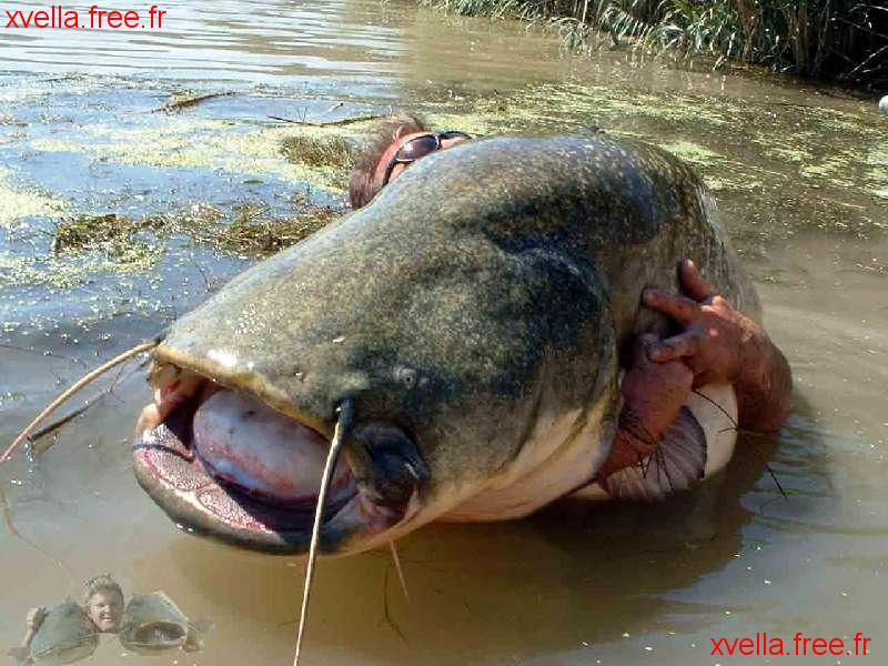 Stephen Buss, Wels Catfish