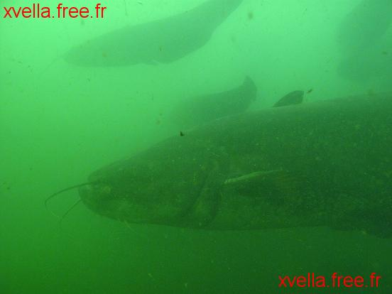 Damfish, Wels Catfish