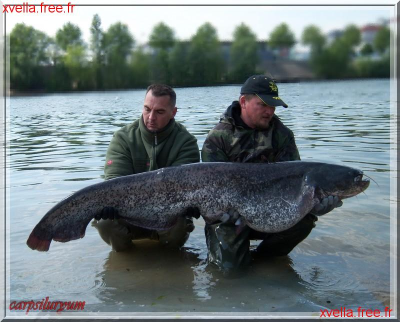 Carpsiluryum, Wels Catfish