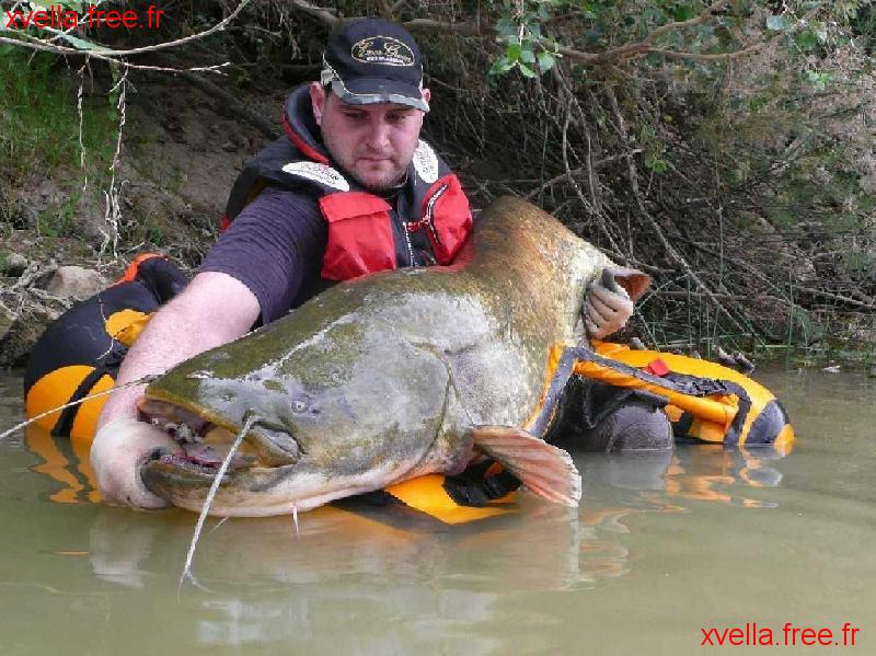 Glanis, Wels Catfish